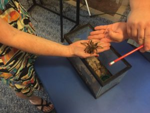 Holding a rose hair tarantula