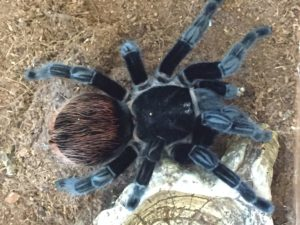 Red-rumped tarantula